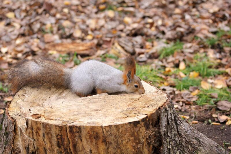 squirrel laying on tree stump